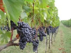 Vini italiani 2013 produzione in  Italia